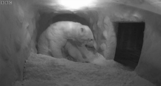 New build: The polar bear and cub inside the man-made den fashioned out of wood and covered in fake snow