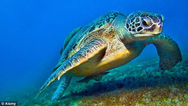 Experts have also speculated the creature could be a giant turtle which was released into waterways as a former pet