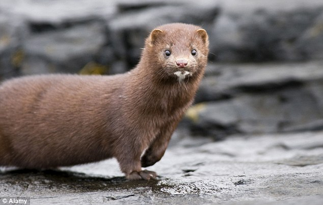 A British Waterways spokesperson said the beast could merely be a large mink, a mammal known to attack ducks or small geese