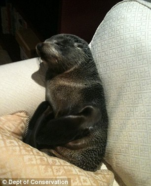 Cheeky: A young seal pup made himself comfy on a sofa after breaking in through the cat flap