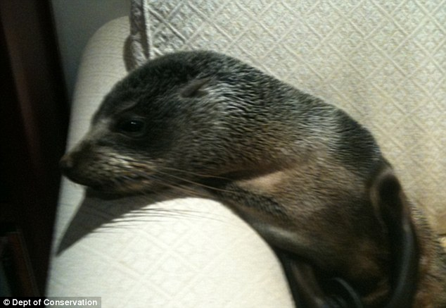 Settling in for the night: The brave seal calmly made his way past the homeowner's cats and dogs to snuggle on the sofa
