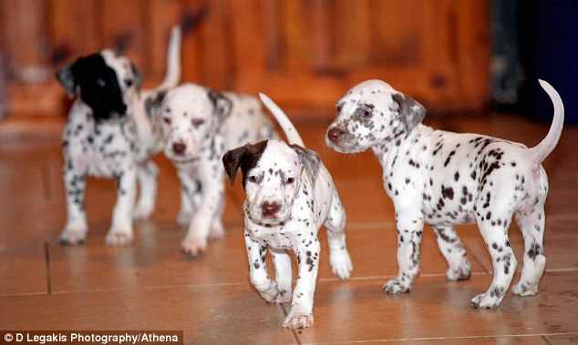 Bouncy: Four of the litter of 15 Dalmatian puppies having a bit of a play