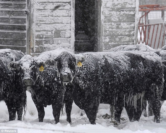 Not happy: A group of Angus cattle try to escape the weather as they hide behind a group of buildings in a corral near Ellis, Kansas, on Tuesday
