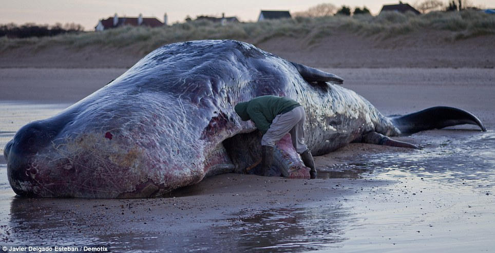 A member of the public cuts off a tooth from the beached whale, which washed up on the Norfolk coast on Christmas Eve