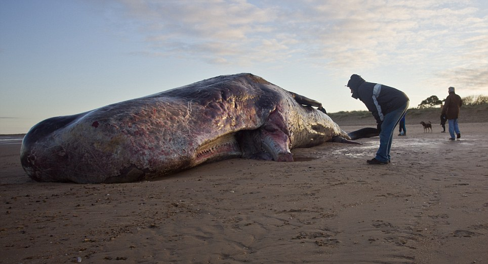 The 40-foot-long sperm whale was washed up on the beach at Old Hunstanton, in Norfolk