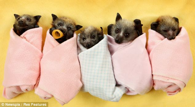 Sky, Abinger, Bell, Elsa and Hercules the orphaned baby grey-headed flying foxes being looked after by Wildlife Victoria volunteers