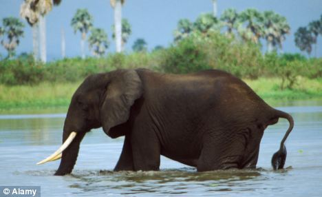 Escalating problem: Fifty elephants a month are being killed and having their tusks hacked off at Tanzania's Selous Game Reserve