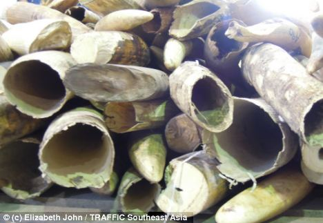 Loot: A stash of African elephant tusks found in Malaysia, similar to those being seized in Asia and around the world