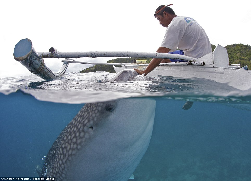 In harmony: A whale shark approaches a local fisherman to be hand-fed brine shrimp in shallow waters