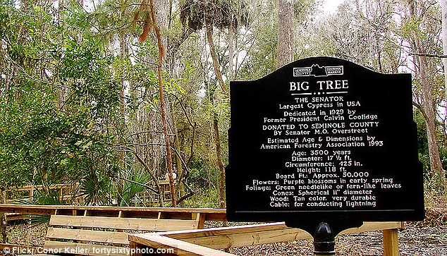 Tourist attraction: A plaque at the site of The Senator heralds it as the largest Cypress in the U.S.