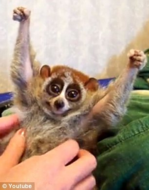 Misleading: The YouTube video of a loris 'being tickled' (left) has been seen by 12 million people - but it is endangering the lives of lorises in the wild (right)