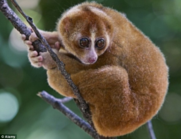 Wide-eyed wonder: The slow loris is a beautiful animal, but they are not in this world to perform tricks on the internet - they¿re not even suitable as pets