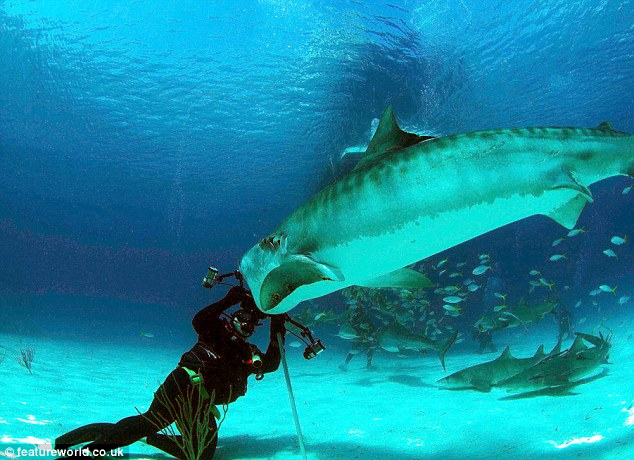 Snappy: Russell Easton is saved by his camera equipment as the tiger shark goes in for the kill