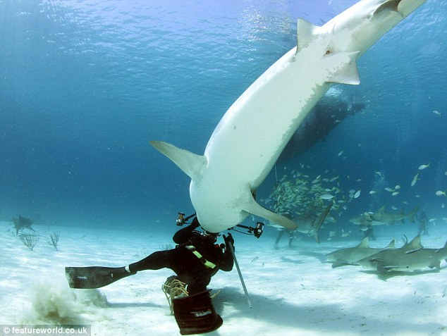 Attack: Diver Russell Easton has a lucky escape as his camera saves him from attack by a tiger shark