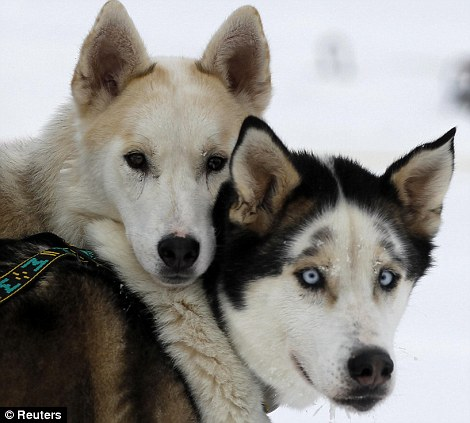 Love: One dog nuzzles up to another as they take a break during the race