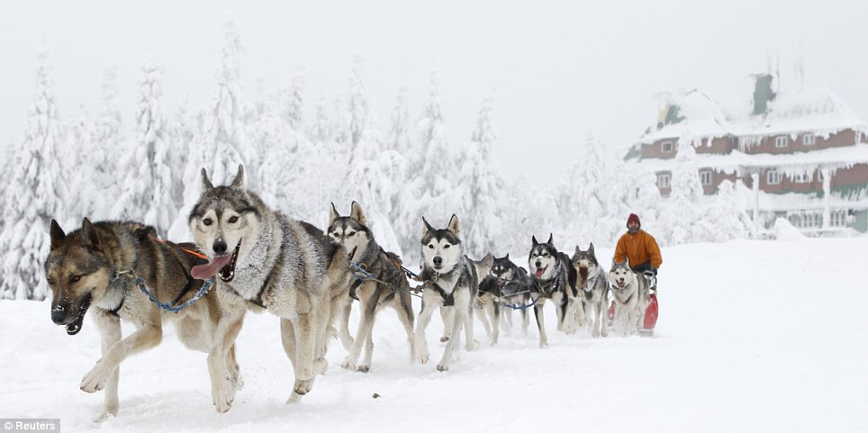 Competition: The dog sled race is considered one of the toughest on the European continent