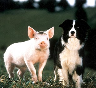 Just like Babe: The antics of Champis mirrors the plot of the 1995 film Babe (pictured), in which a pig take on the role of sheep dog