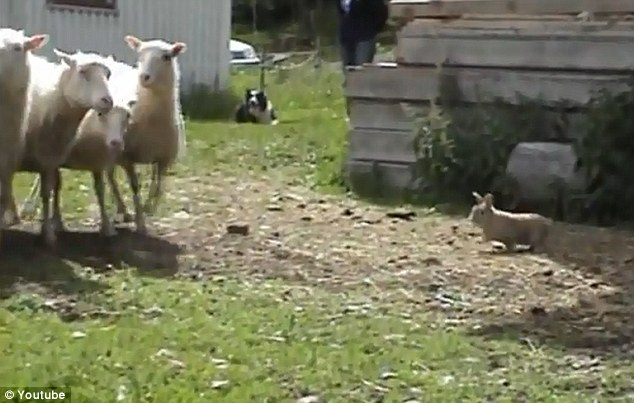 Honing in: The unsuspecting sheep are oblivious to the rabbit's approach, as Champis gets ready to round them up