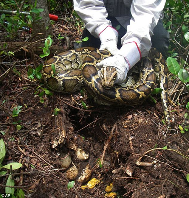 At least 1,825 Burmese pythons have been caught in and around Everglades National Park since 2000. Many used to be pets and were freed by their owners when they got too big. Here is one with its nest captured in 2009