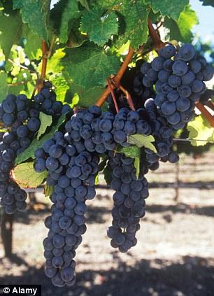 Fresh grapes at a vineyard,Okanagan