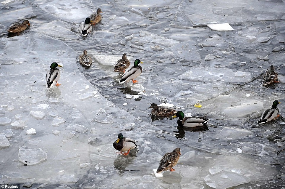 Alright for some: Ducks swim in the frozen Elbe-Luebeck canal near Moelln in Germany