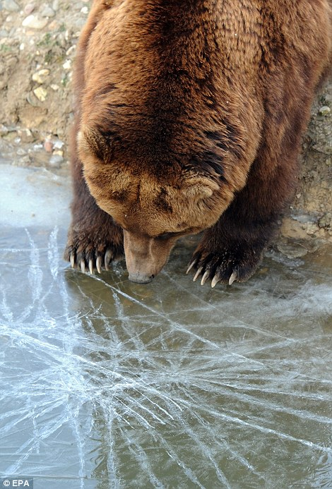 A Kamchatka brown bear plays with ice at the Gelsenkirchen zoo in Gelsenkirchen, Germany