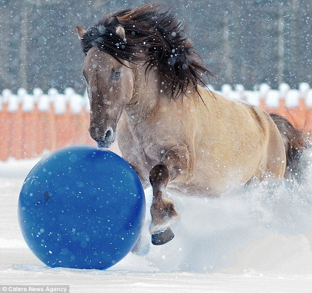 Hoof it up the park: Bashkir Pony Gray gallops loves nothing more than a game of football round his paddock