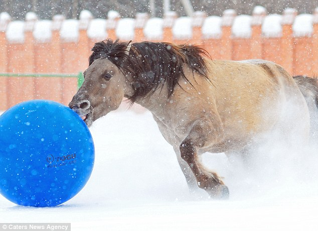 Nice dribble: Gray, a Bashkir-type pony, has put in hours of practice around the paddock to perfect his skills