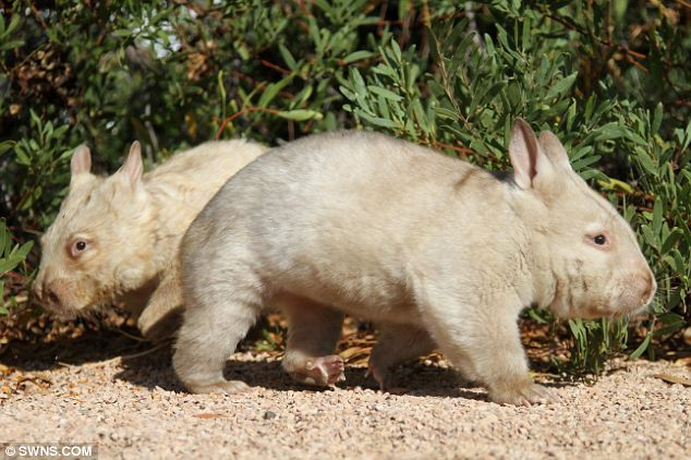 Rescued: They were found tired and hungry in fields near Ceduna, Australia