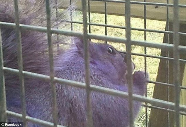 Inimitable: But this is in fact the third time a purple squirrel has been found in the wild