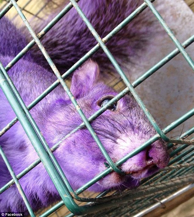 Unusual: Percy and Connie Emert found this bright purple squirrel trapped in their back garden