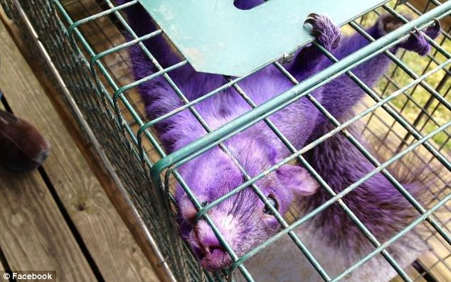 Internet fame: The purple squirrel has so far picked up nearly 3,000 followers on Twitter