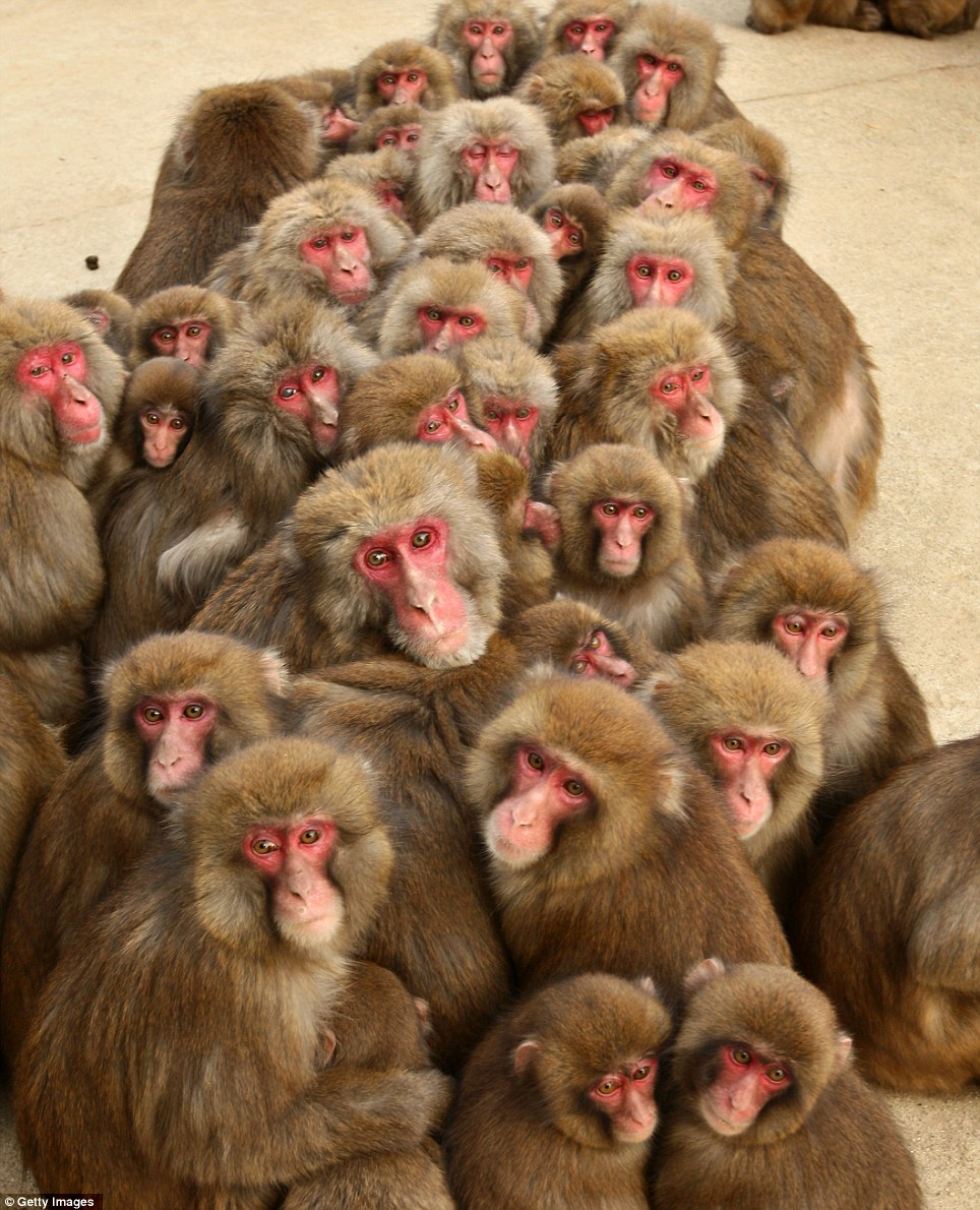 Japanese macaque monkeys huddle together to protect themselves against the cold weather at Awajishima Monkey Center in Japan