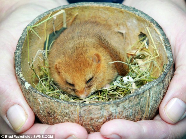 He was scooped up by a visitor and taken to the Secret World Wildlife Rescue Centre, near Highbridge in Somerset, where he promptly went into hibernation