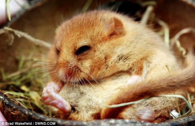 Charity founder Pauline Kidner said the mouse occasionally woke briefly for a catkin flower snack before nodding off again