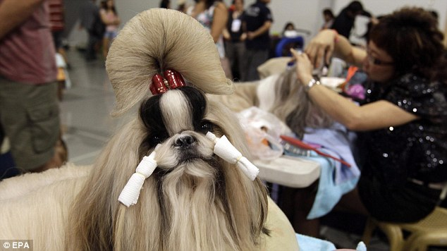 What are tzu looking at? A purebred Shih Tzu awaits the completion of her canine coiffure at the Asia and Pacific Dog Show in the Phillippines capital, Manila