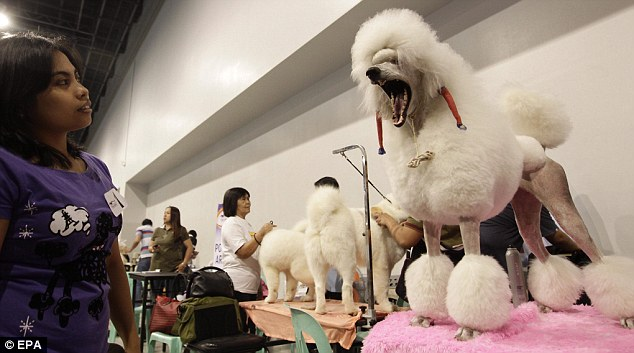 High-maintenance hound: the poodle waiting to be judged as a Filipina looks on