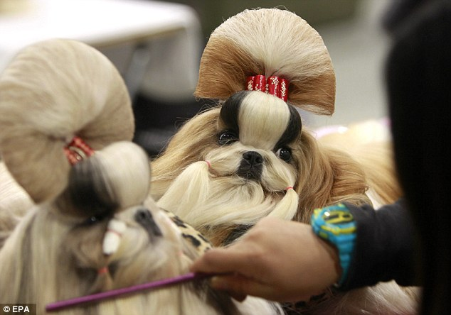 Bouffants: A handler grooms an almost two identical Shih-Tzu puppies prior to performing at the opening of the three-day Federation Cynologique