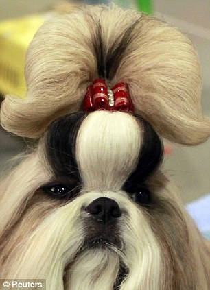 Oh darling: this Shih Tzu, with its Marie Antionette bouffon, knows who it thinks stole the sho