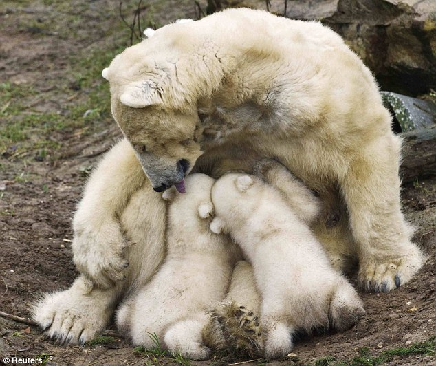 Thirsty work: Polar bear Huggies licks her twin cubs while breastfeeding them during their first public appearance at the Ouwehands Zoo in the Netherlands