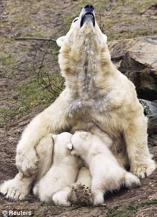 Hard work: Polar bear Huggies looks up as her twin cubs feed