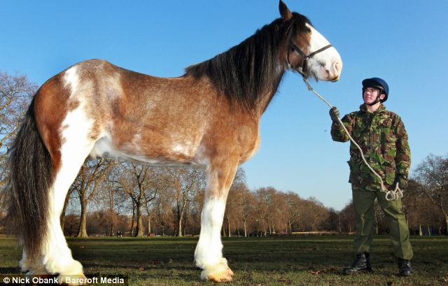 Amazing tail: The horse will need to put on even more weight to carry the silver drums at the Queen's Diamond Jubilee
