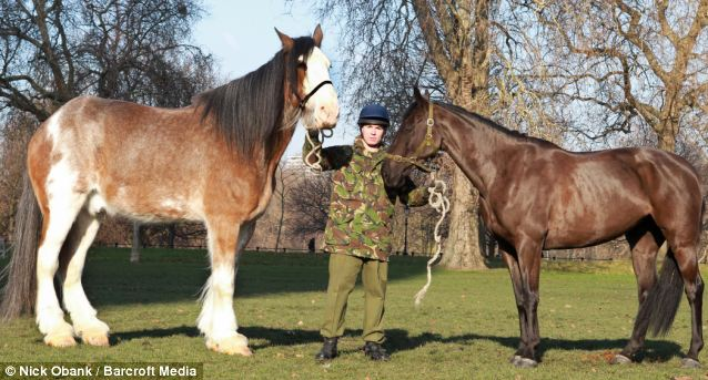 On the hoof: The Clydesdale dwarfs his stablemates, with the average height of a shire horse being just 17.2 hands in comparison to his 19.3