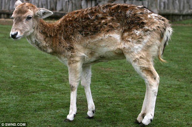 Old deer: Holly was just a week shy of being named the world's oldest deer on her 22nd birthday when she died this week