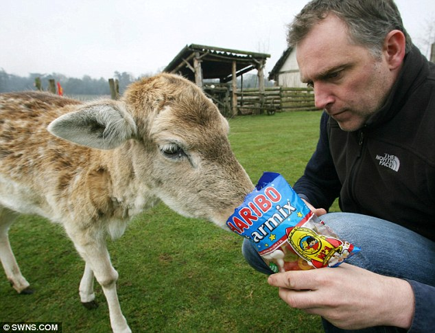 Sweet tooth: Holly's longevity was put down to her love of all types of sweets, including Haribo starmix, which Mountfitchet Castle Director Jeremy Goldsmith was happy to indulge