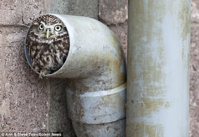 What a hoot: Little Eggnog is said to be happy in his drainpipe as he feels safe and secure from any prying predators looking for a tasty snack