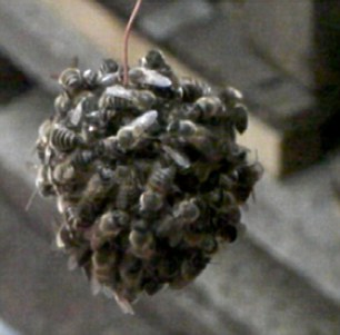 Scientists insert a hornet into a nest of Japanese honeybees - and the tiny creatures swarm over the huge predator to 'cook' it inside a 'bee ball