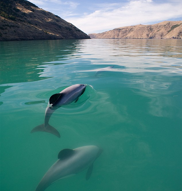 Only found on the west coast of New Zealand, there may be as little as 20 breeding females left, a new study has found