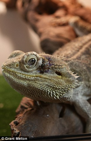 George the lizard