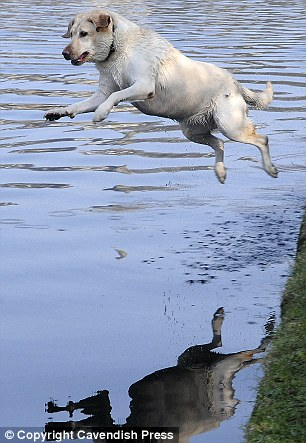 Taking the plunge: Biscuit the dog drenched his owner after leaping into the cooling waters of a canal in Mossley, Greater Manchester today for a bit of relief from the heat